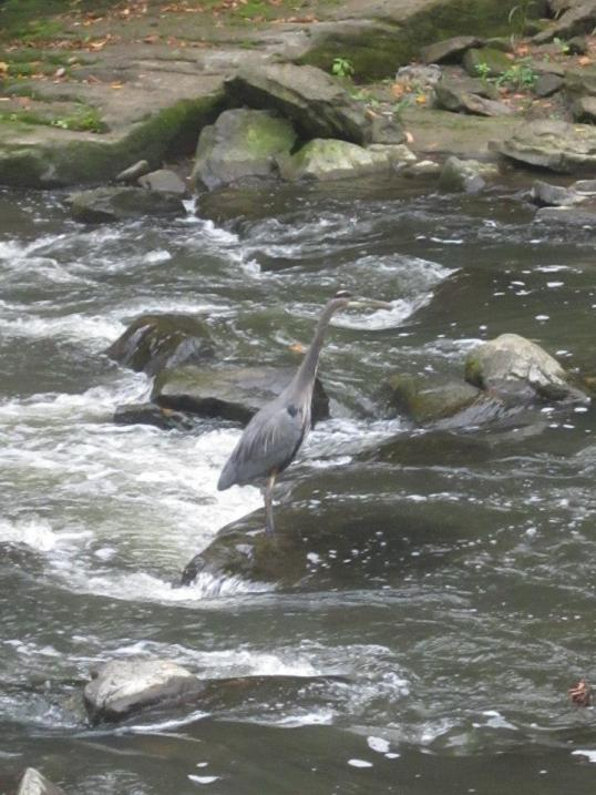 That blue heron caught several fish -- I was just too slow to photograph it